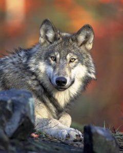 wolf-62898__340